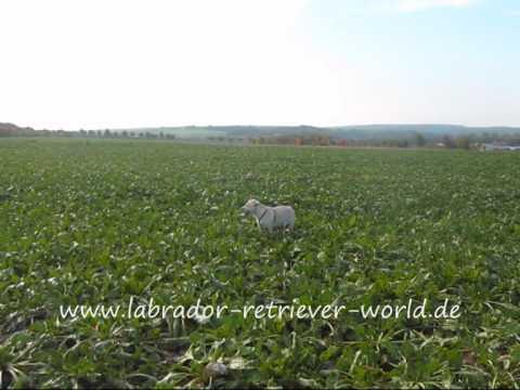 Labbi Betty Hündchen spingt über die Felder