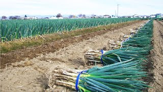 japan green onion farm and harvest amazing japan agriculture technology farm 35