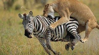 Lion vs Zebra Fight!