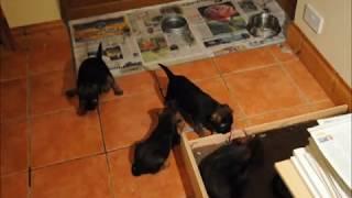 seven week old border terrier puppies