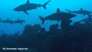 2014-06-28 Diving with sharks at Fakarava