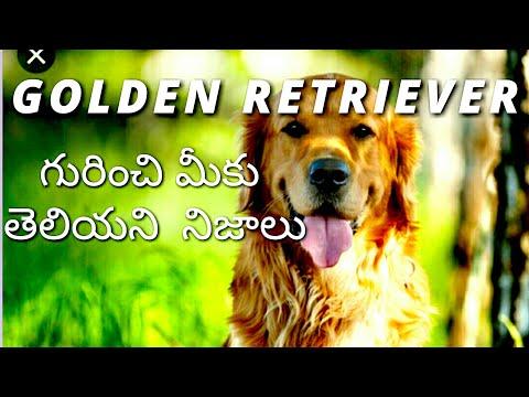 Golden Retriever Facts ll in Telugu