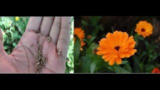कैलेंडुला (Calendula) के बीज Save करें !! Collect Calendula Seeds - Hindi/ Urdu/ Punjabi