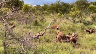 Hyenas fight wild dogs over an Impala