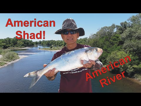 Shad Fishing Report American River | #Shad Fishing From Shore Easy Setup