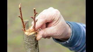 CÓMO HACER un INJERTO de PÚA en un árbol FRUTAL || La Huertina De Toni
