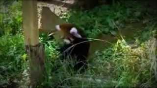 Panda vermelho bebê tentando pegar uma borboleta