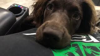 My Boykin Spaniel Puppy and what I think of the breed!
