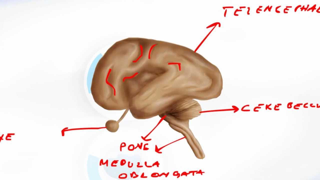 Brain Developement Embryology - Brain Anatomy - YouTube