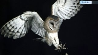 Researchers Study Owls To Replicate Silent Flight