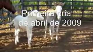 Jumento Pêga Pampa