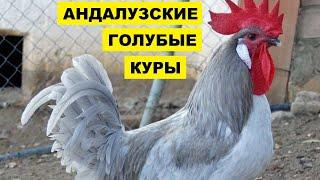 Разведение Андалузской голубой породы кур как бизнес идея | Птицеводство | Куры Андалузские голубые