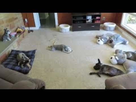 Painting The Schnauzer Room | Dog Mom Life