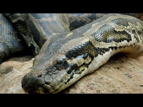 ajgar snake