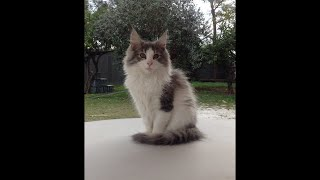 Norwegian Forest Cat  Pearl the first 5 years