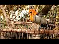 Masteran Cit Keres Gacor Jantan Untuk Pikat Isian Burung Kemade Jawa Anakan Bahan Hasil Pikatan  Mp3 - Mp4 Download