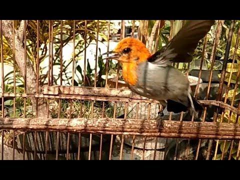 Masteran Cit Keres Gacor Jantan Untuk Pikat Isian Burung Kemade Jawa Anakan Bahan Hasil Pikatan By