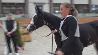 Чистокровная арабская лошадь масти вороная-сабино. Шоу Чемпионат России арабских лошадей 2017