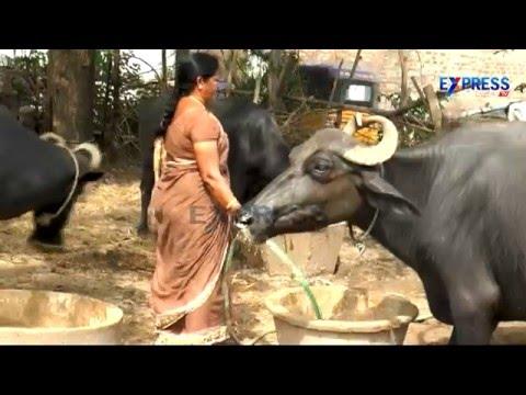 Murrah Buffalo Dairy farming Success story from East Godavari – Express TV
