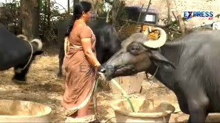 Murrah Buffalo Dairy farming Success story from East Godavari - Express TV