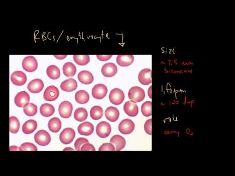 Blood Cells and Bone Marrow (Part 1 of 2)