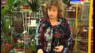 Комнатные цветы. Бегония. Ранункулюс(садовый лютик). Опрыскивание и подкормка.