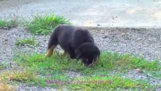 Счастливый щенок ротвейлера бегает по двору