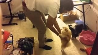 My Pomeranian Is So Good At Dancing!
