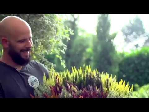 Der 1000 Gute Gründe-Gärtner: Heide Und Callunen Machen Den Herbst Zum Highlight