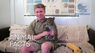 Animal Facts with Robert Irwin: Leopard Cubs thumbnail