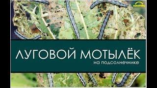 Луговой мотылек на подсолнечнике(, 2017-08-19T14:47:11.000Z)