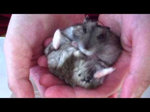 Dwarf Hamster Cleaning Self