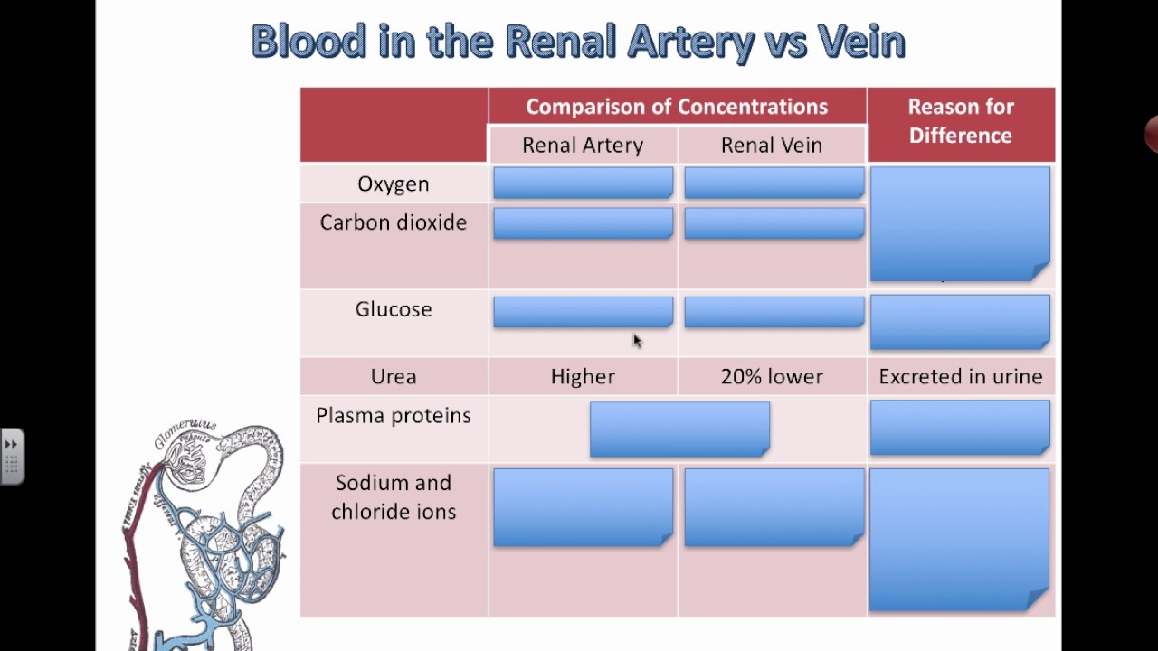 Comparing Blood In Renal Arteries And Veins Ib Biology Youtube