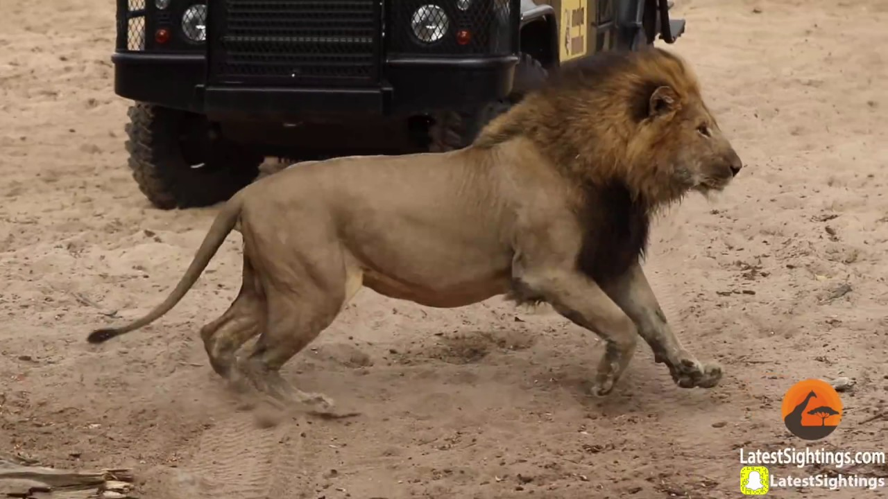 Male Lion Stalks & Attacks Leopard - war for survival of wild animals