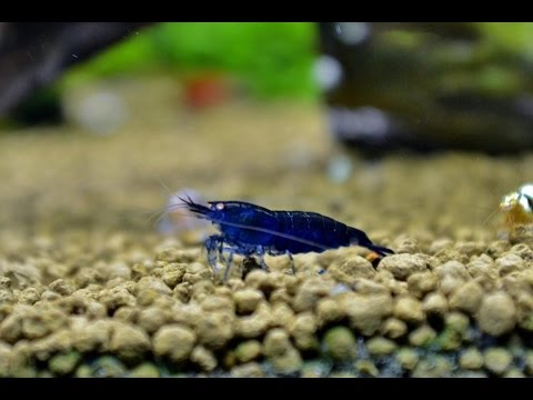 How to Breed Royal Blue Tiger Shrimp
