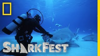 Tonic Immobility in Tiger Sharks | SharkFest