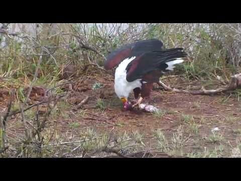 African Fish Eagle eating catfish. Africa River cam. 19 Nove
