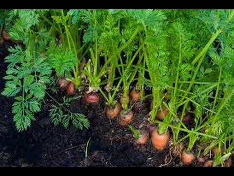 Growing Carrots Indoors - Youtube