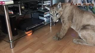 Пума Месси - котоконь! Cougar Messi runs like a horse!