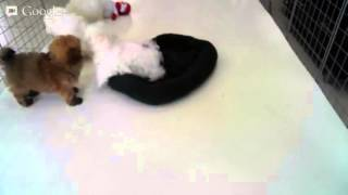 Star Yorkie Kennel - Females: Maltipoo World Peace & Maltese Ginger, Males Maltese: Galaxy & Zeus