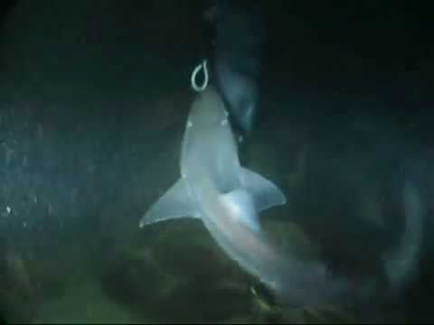 Dogfish Shark feeding frenzy