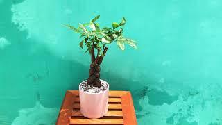 Kỹ thuật trồng cây kim ngân xoắn