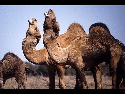 HD! Somaliland - Vieh, Khat und ein Schönheitssalon [Doku]