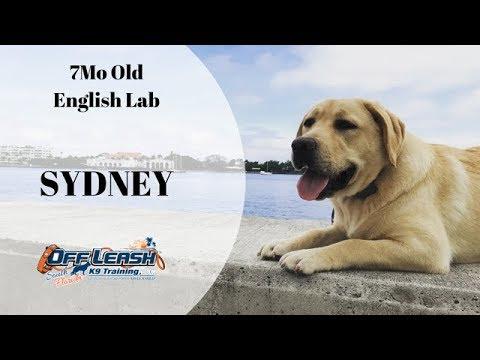 7MO OLD ENGLISH LAB 'SYDNEY' 2 WEEK BOARD AND TRAIN PROGRAM W/ TIFFANY