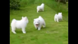 Puppy Love - Samoyed Puppies
