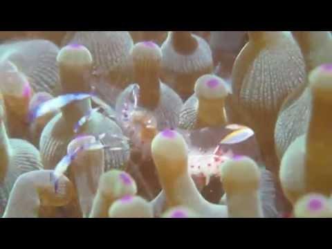 20140614_anemone Shrimp @甕缸