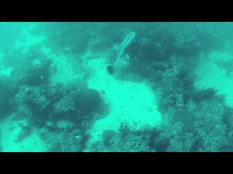 Remora Fish spotted in Oman
