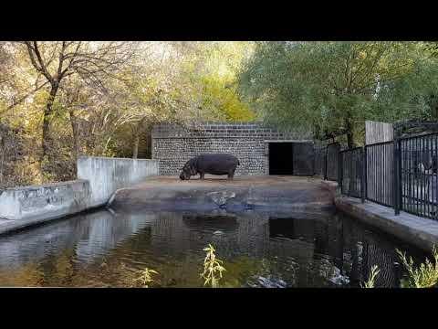 The eating hippopotamus