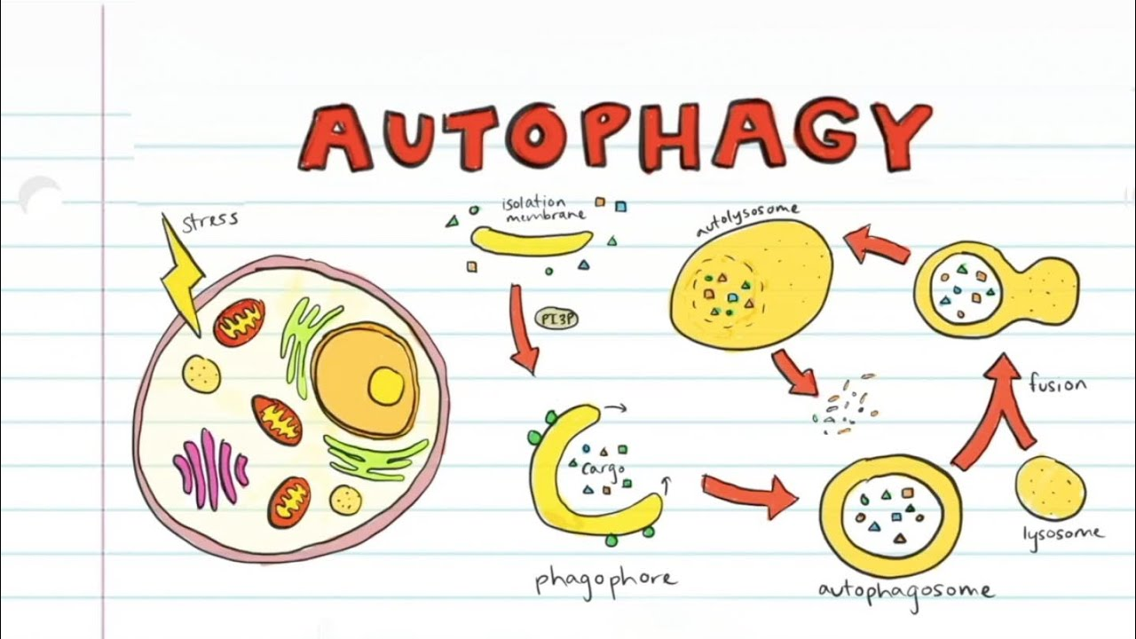What is Autophagy? - YouTube