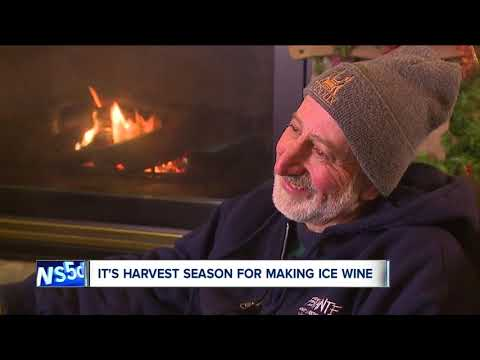 Ferrante Winery embraces arctic air during harvesting time for ice wine
